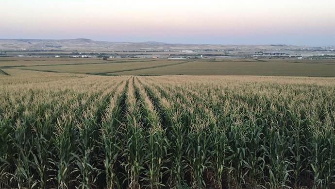Çiftçi mısırdan umutlu