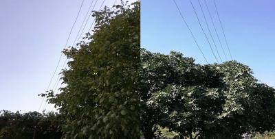 Bu ağaçlarda 'elektrik' var